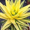 Keptei 100 Stück echt Aloe Vera(Aloe barbadensis) Samen Erste-Hilfe-Pflanze Zimmerpflanzen Kräutergarten Sukkulenten Saatgut von Keptei - Du und dein Garten
