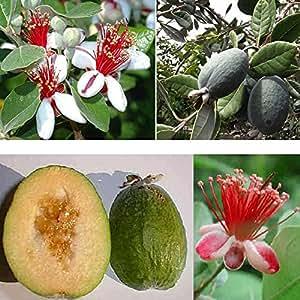 1 pianta di feijoa sellowiana pineapple guava propriet for Pianta feijoa