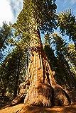 Echter Mammutbaum - Sequoiadendron giganteum - super Geschenkidee für Gartenliebhaber - verschiedene Größen (60+cm - 5 Ltr.)