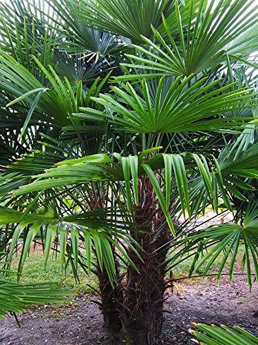 Extrem Frostharte Himalaya Hanfpalme Trachycarpus takil kalamuni ca.70 cm Höhe Kumaon Fächerpalme