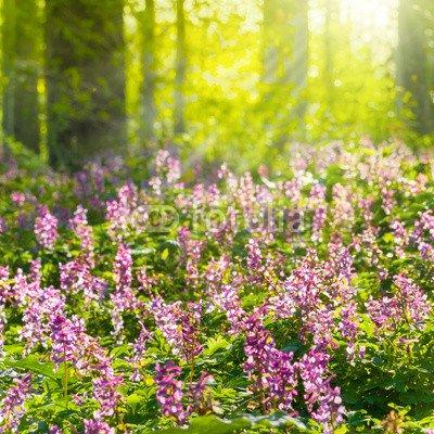 "Alu-Dibond-Bild 80 x 80 cm: ""Sonniger Frühlingswald mit Lerchensporn, Corydalis cava"", Bild auf Alu-Dibond"