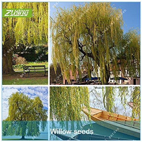 Bonsai-willow Tree (ZLKING 50 PC Willow Tree Seeds Riesen-Hausgarten-Dekoration Frische grüne Bonsai Pflanzensamen Schöne Blume Salix Babylonica)