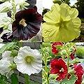 lichtnelke - 5 Stk. ungefüllter Stockrosen – Farbmix großblumig * Bauerngarten * Bienenweide + Schmetterlingsmagneten * Dauerblüher von Lichtnelke Pflanzenversand auf Du und dein Garten