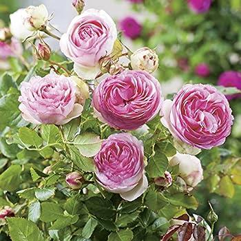 Strauchrose Eden Rose® Rosen-Blüten zweifarbig Rosa-Weiß
