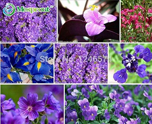 semillas-semillas-de-color-violeta-violeta-africana-semillas-violetas-jardin-se-puede-sembrar-las-es