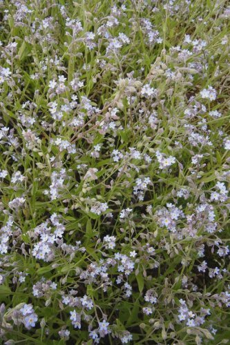 Just Seed British Wild Flower - Field Forget Me Not - Myosotis arvensis - 1000 Seed