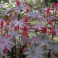 Go Garden 10 unids planta de aceite de ricino, ricino, Ricinus communis Bonsai planta