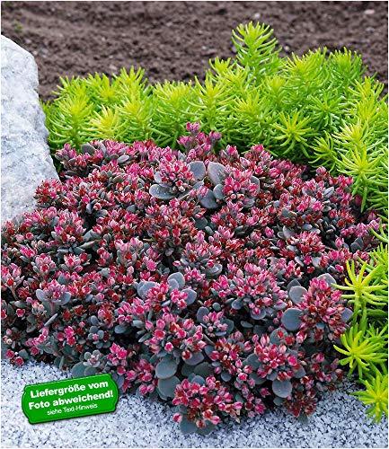 "BALDUR-Garten Sedum Sun Sparkler®\""Sedoro Blue Elf\"", 2 Pflanzen winterhart Fetthenne Garten Fettblatt"