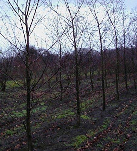 Betula maximowicziana - Bronzebirke - Lindenblättrige Birke