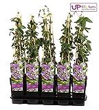Blumen-Senf Winterharte Passionsblume Passiflora Purple Haze