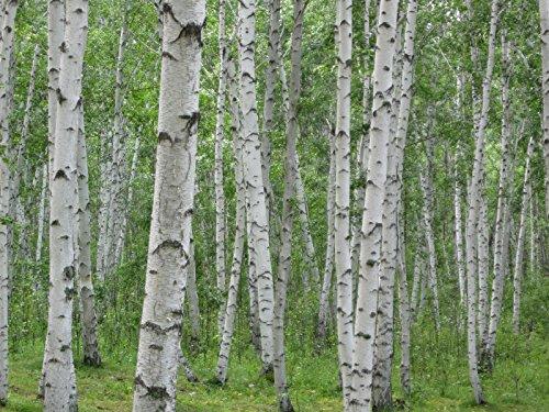 Birke, weiße Birke Hartholz (ausgezeichnet Brennholz) BAUM 275 Samen! Groco