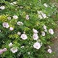 Zartrosa Storchschnabel ( Geranium sanguineum var. striatum 'Vision Hellrosa' ) von Lichtnelke Pflanzenversand bei Du und dein Garten