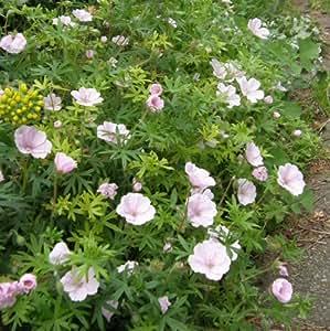 Zartrosa Storchschnabel ( Geranium sanguineum var. striatum 'Vision Hellrosa' )