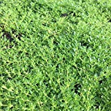 Blumixx Stauden Thymus serpyllum 'Albus' - Weißer Sand-Thymian im 0,5 Liter Topf weiß blühend