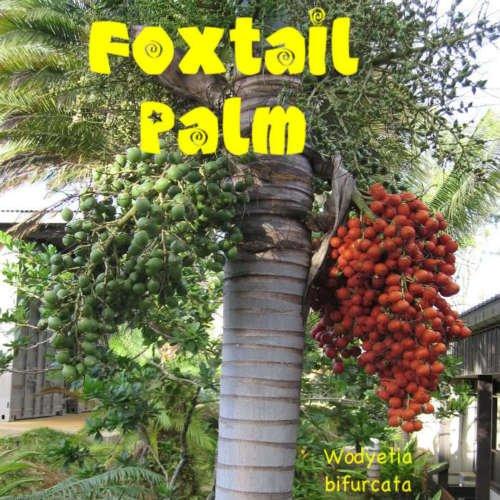 10 FUCHSSCHWANZ Palme Wodyetia bifurcata die besten Samen sind von Hawaii Easy Grow