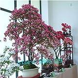 Französisch Provence Lavendel Samen sehr aromatisch organischen Lavendel Samen Pflanze Blume Blumensamen-Hausgarten Bonsai 100 Samen / pack