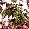 Future Exotics Gartenfarn Blechnum spicant Rippenfarn ist immergrün frosthart von Future Exotics auf Du und dein Garten