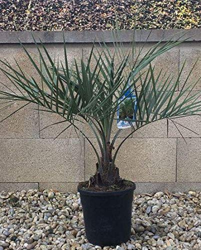 Palmenst. Echtpflanze, Butia Capitata - Geleepalme ca. 15 Kg (907910004)