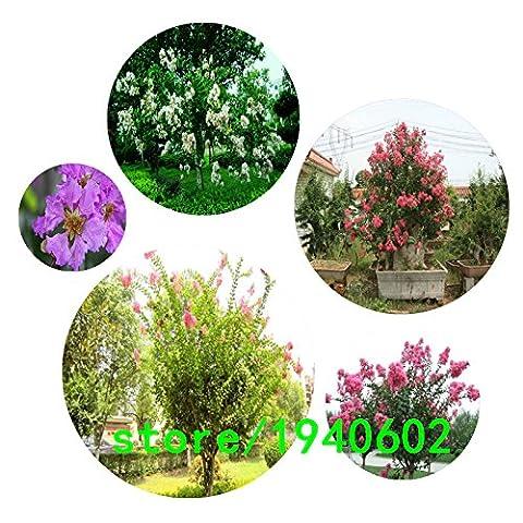 100 graines / sac fleur rare chinois Crape Myrtle Lagerstroemia Graines d'arbres indica bonsaï fleurs Graines Crape graines d'arbres de myrte