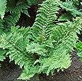 Weicher Schildfarn Plumosum Densum - Polystichum setiferum von Baumschule - Du und dein Garten
