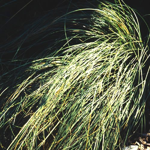 Frosted Grass (Plant World Seeds - Carex 'Frosted Curls' Seeds)