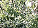Japanische Harlekinweide - Salix integra 'Hakuro Nishiki' - Containerware 40-60 cm - Garten von Ehren®
