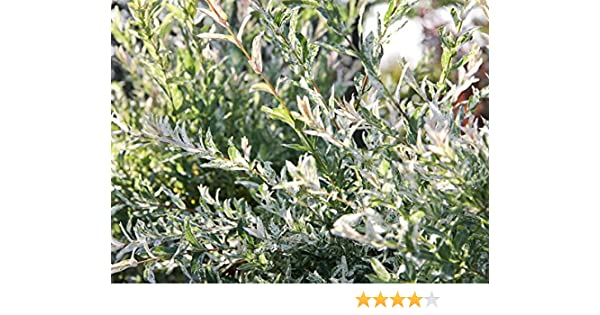 Harlekinweide Salix integra Hakuro Nishiki 60 cm Stammh/öhe im 5 Liter Pflanzcontainer
