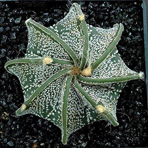 Ncient 100 semi sementi di cactus semi di piante succulente rare perenni fiori rari per orto giardino balcone bonsai interni ed esterni