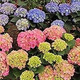 Moresave Hortensien Samen Gemischte Farbe Bonsai Blumensamen Mehrjährige Garten Blumen Samen 50Pcs/Paket