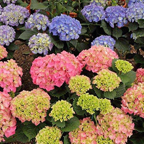 Moresave Hortensien Samen Gemischte Farbe Bonsai Blumensamen Mehrjährige Garten Blumen Samen 50Pcs/Paket -