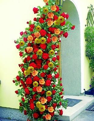 Kletterrosen, je 1 Pflanze rot, rosa oder gelb blühend von Amazon.de Pflanzenservice auf Du und dein Garten