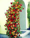 Kletterrosen, je 2 Pflanze rot, rosa oder gelb blühend