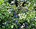 Schlehe Schlehdorn Schwarzdorn Prunus spinosa Containerware 60-100 cm von floranza® bei Du und dein Garten