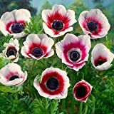 pinkdose 25Anemone de Caen–Bi-Color, Red and white–Hard to Find Variety ~ Ready to ship