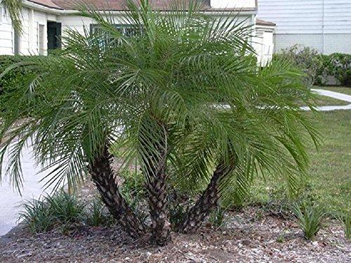 PHOENIX roebelenii, pygmée palmier dattier exotiques palmiers rares graines semi plante 50 graines