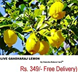 #9: LIVE Gandharaj Lemon Plant ( also called the kaffir lime, makrut or Mauritius papeda )