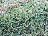 20 Stück Heimische Eibe (Taxus baccata) im Topf 15-30cm