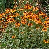 lichtnelke - Sonnenhut 'TIKI TORCH' (Echinacea purpurea)