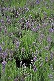 Lavendel Lavendula ang.