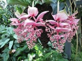 Medinilla magnifica do well in hanging basket at the garden .