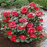 Shop Meeko Camellia japonica red - 1 arbusto