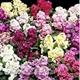 Flower - Kings Seeds - Picture Packet - Stock - Cinderella Mixed - 100 Seed