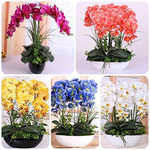 Bornbayb 200 PCS Mélange Phalaenopsis Graines Papillon Orchidée Graines Bonsaï Graines De Fleurs Accueil Plante