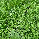 Premier Seeds Direct HRB91 - Semillas para hierbas (cilantro)