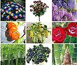 Portal Cool Purpurrote Glyzinie-Blume: Riesige Frucht-Blaubeerbananen-Samen, seltener Chrysantheme-Pfeffer sät Baum