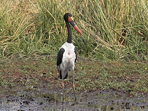 Panoramic Images – Saddle Billed Stork (Ephippiorhynchus senegalensis) Linyanti Concession Ngamiland Botswana Photo Print (22,86 x 30,40 cm) (Saddle-billed Stork)