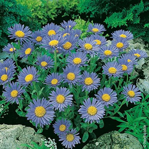 aimado sementi giardino - rara astro nano goliath blu semi sementi da fiore giardino resistenza al freddo pianta perenne per cespugli, bordure e rocciati