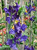 Lathyrus odoratus, Sweet Pea - Mammoth, navy blue, 5g approx 75 seeds