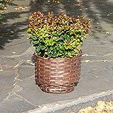 Dominik Blumen und Pflanzen, Traubenheide, Leucothoe axcillaris