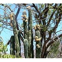 Pachycereus pecten aboriginum seeds